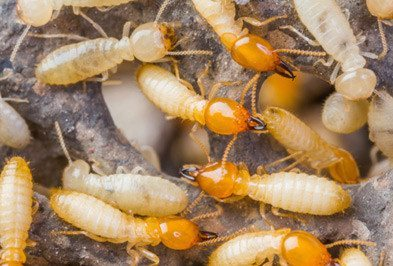 Termite Control Services In Hyderabad Doorstep Service Best Price